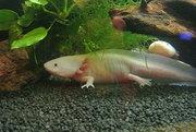 Продам аквариумного водяного дракона (Аксолотль)